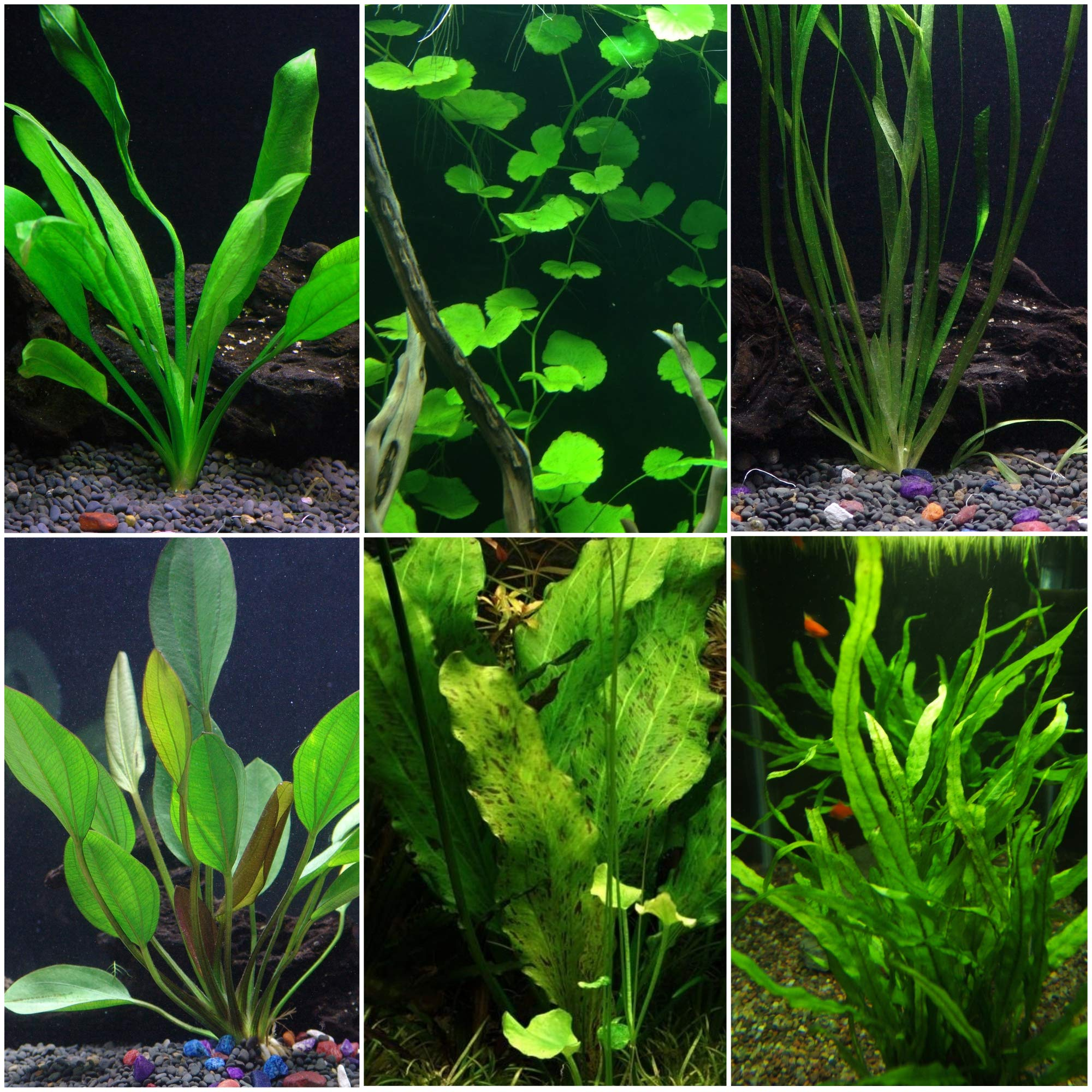 Discus-Warm Water Aquarium Plant Bundle by AquaLeaf Aquatics