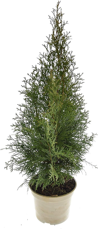deutsche Premium-Qualit/ät 30-40 cm // 1 l /Ø 13 cm 25 St/ück Heckenpaket Lebensbaum Thuja occidentalis Smaragd