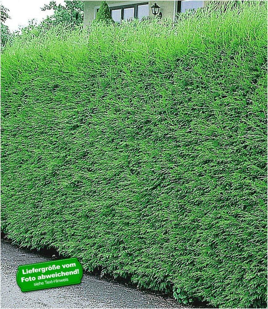 Baldur Garten Leyland Zypressen Hecke Winterhart 10 Pflanzen