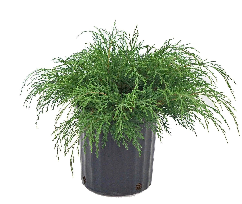Microbiota decussata (Russian Cypress) Evergreen, #2 - Size Container