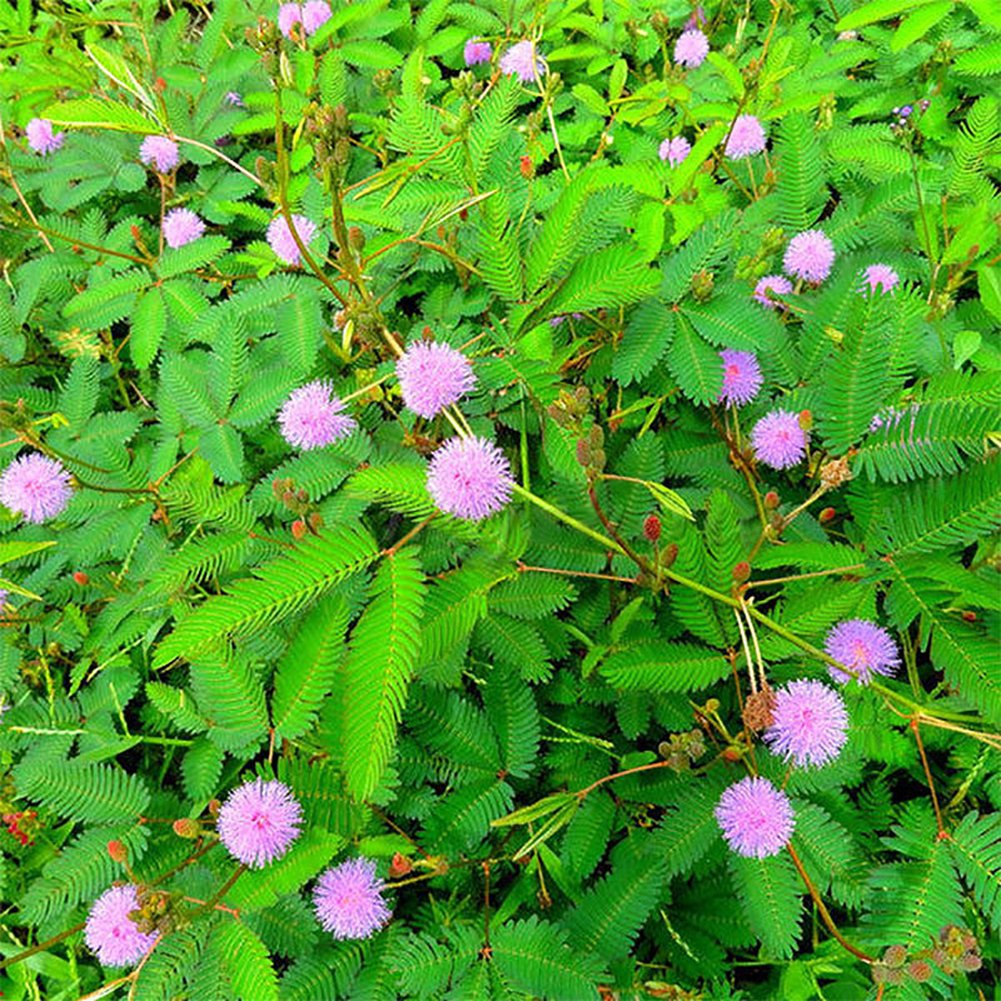 100Pcs Sensitive Plants Flower Mimosa Pudica Seeds for Garden Pots Planting