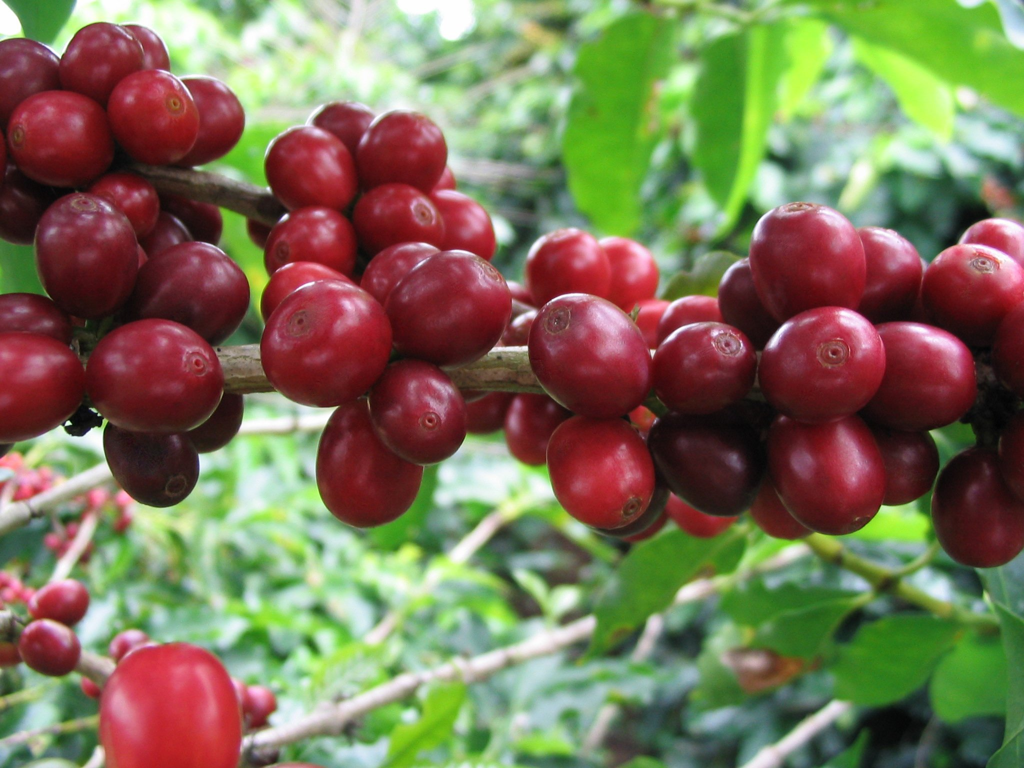 Fine International Coffees, up to 50 Pounds, Unroasted, Green Beans (Brazil Cerrado Arabica Natural 17/18 Coffee Beans, 30 pounds) by RhoadsRoast Coffees (Image #6)