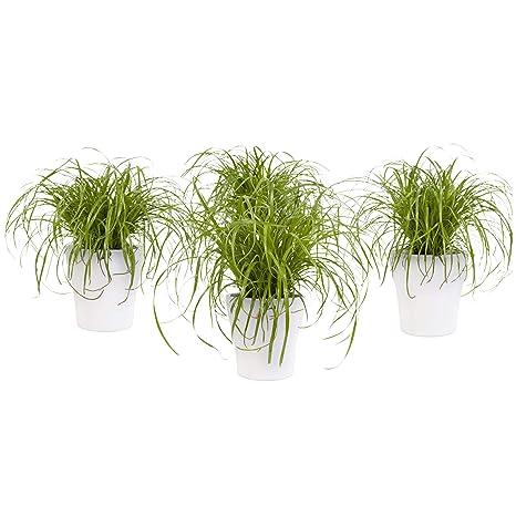 BOTANICLY | 4 × Plantas naturales – hierba para gatos con maceta blanca como un conjunto