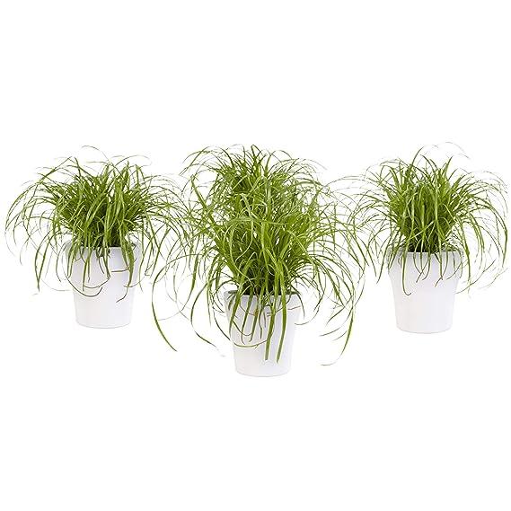 BOTANICLY | 4 × Plantas naturales - hierba para gatos con maceta blanca como un conjunto | Altura: 23 cm | Cyperus Alternifolius Zumula: Amazon.es: Jardín