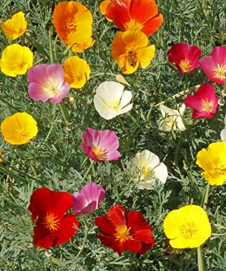 Amazon California Poppy Flower Seeds Mix Colorful Bulk
