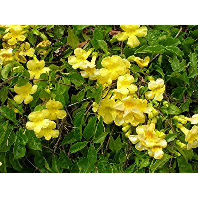 Macfadyena unguis cati EVERGREEN VINE Yellow Flowers! SEEDS! : Garden & Outdoor