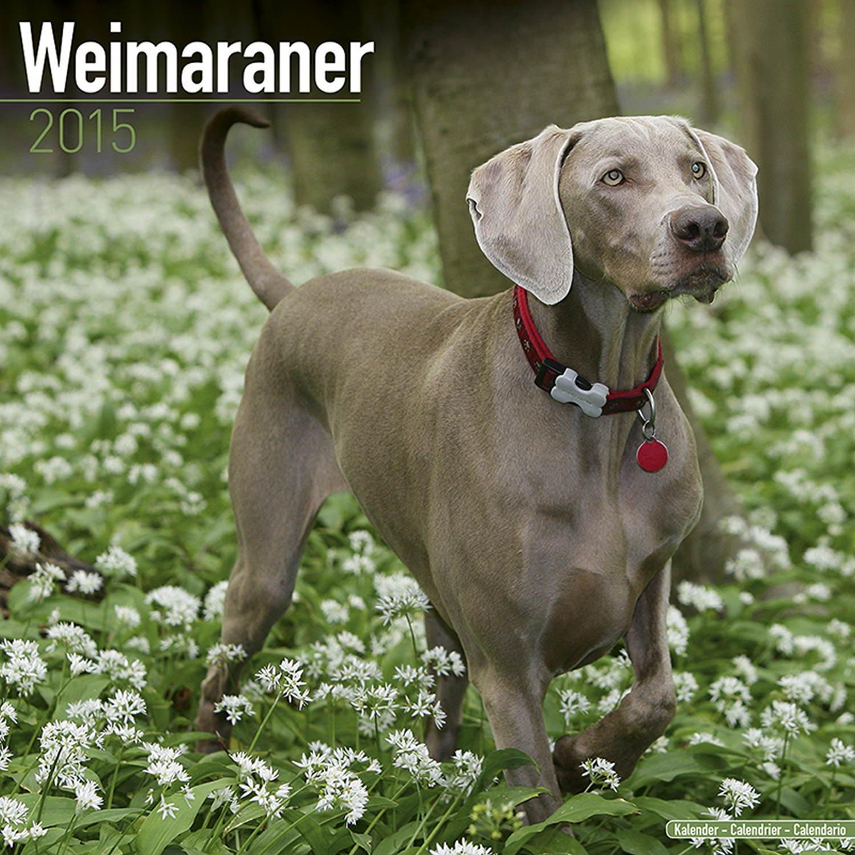 Weimaraner calendar dog breed calendars 2017 2018 wall weimaraner calendar dog breed calendars 2017 2018 wall calendars 16 month by avonside megacalendars 9781785801068 amazon books nvjuhfo Image collections