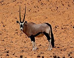 Amazon.com: Papo 50139 Oryx Antelope Figure: Toys & Games