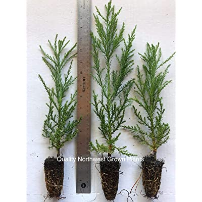 """20 Giant Sequoia Trees California Redwood Potted 8""""- 12"""" Tall Seedling : Garden & Outdoor"""