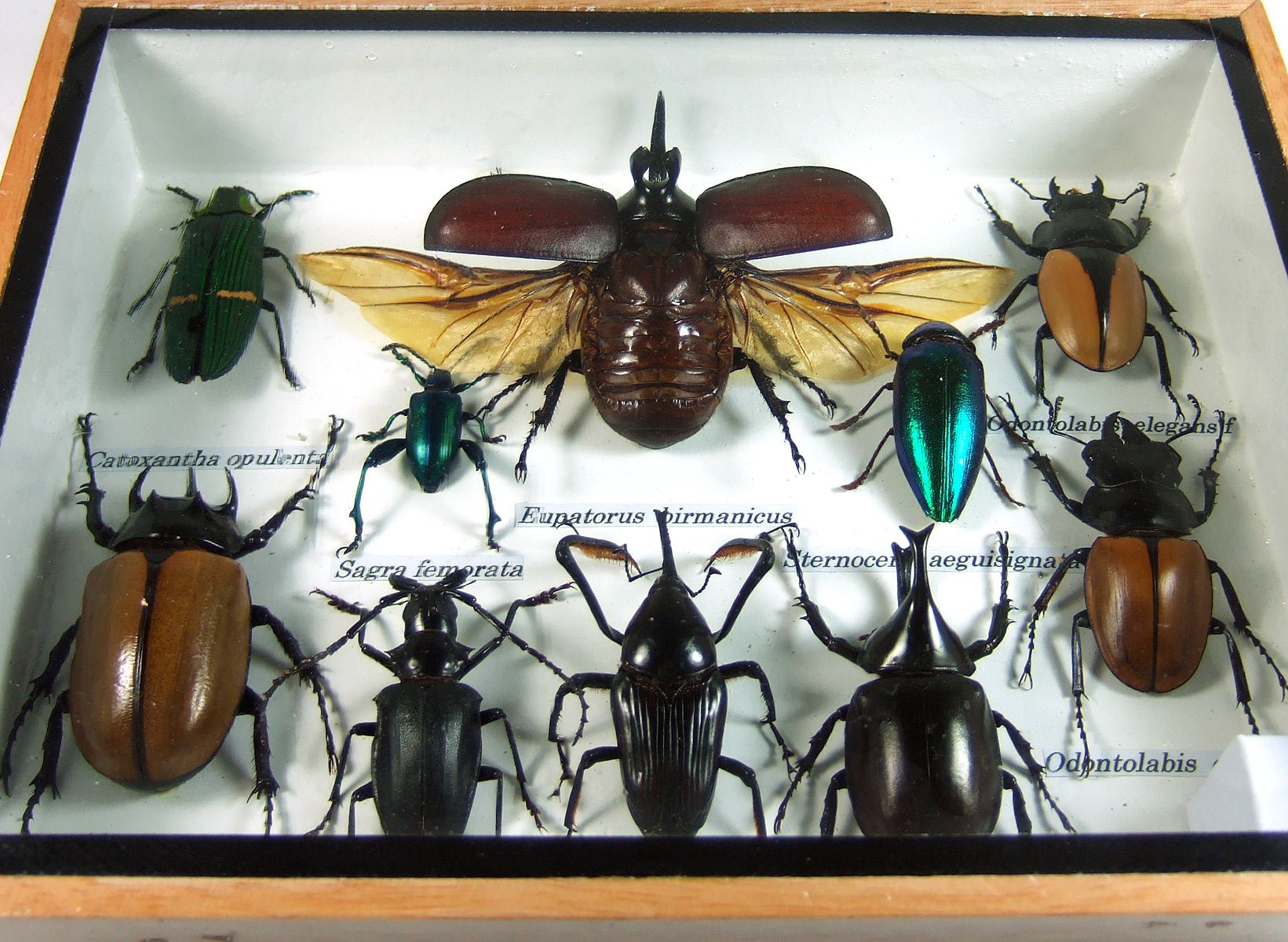 Real Display Insect Taxidermy Small Set in Box for Collectible Gift #11 by Thai Productz