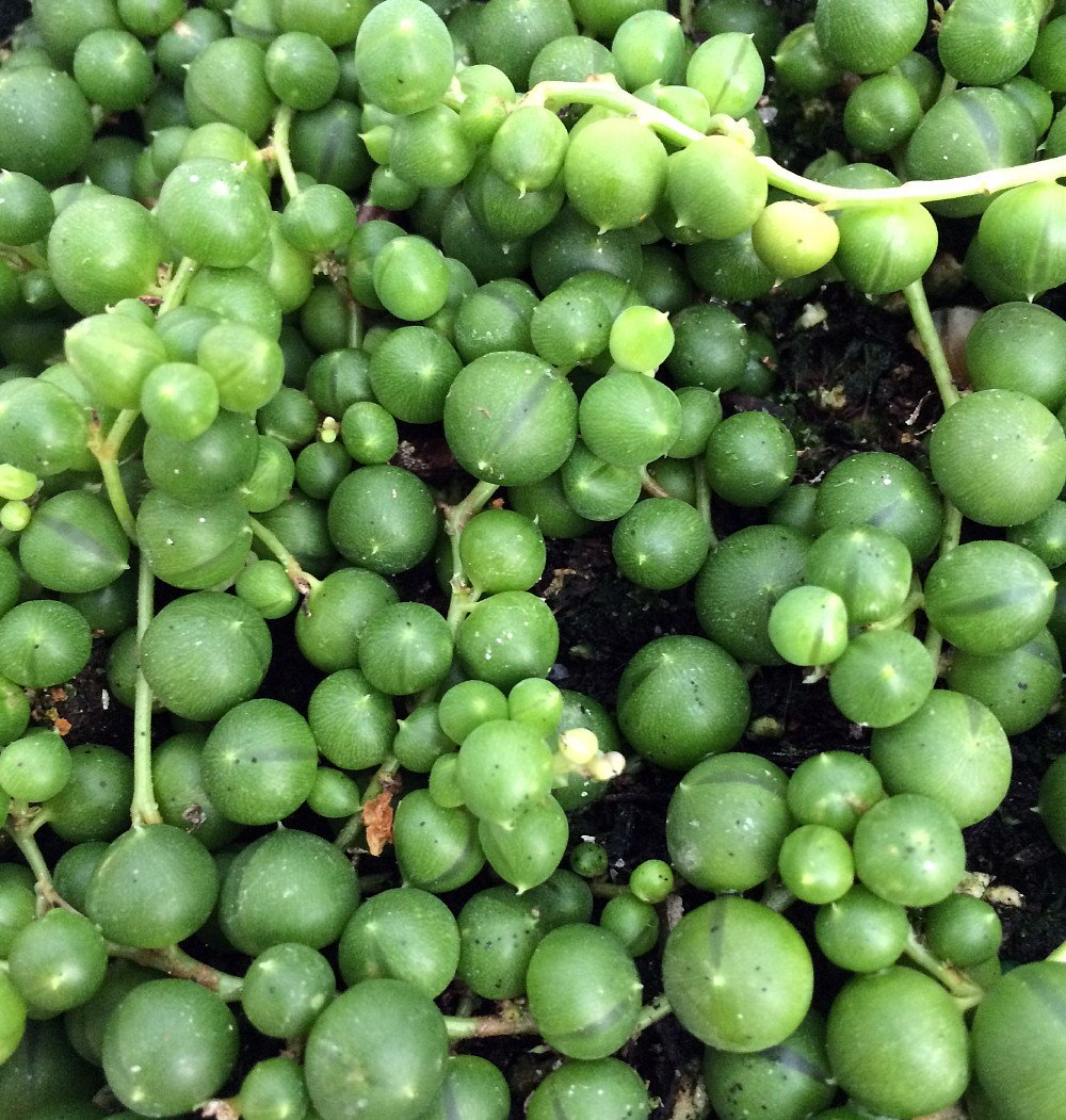 String of pearls plant care - Amazon Com String Of Pearls Senecio Easy To Grow 4 Pot Flowering Plants Patio Lawn Garden