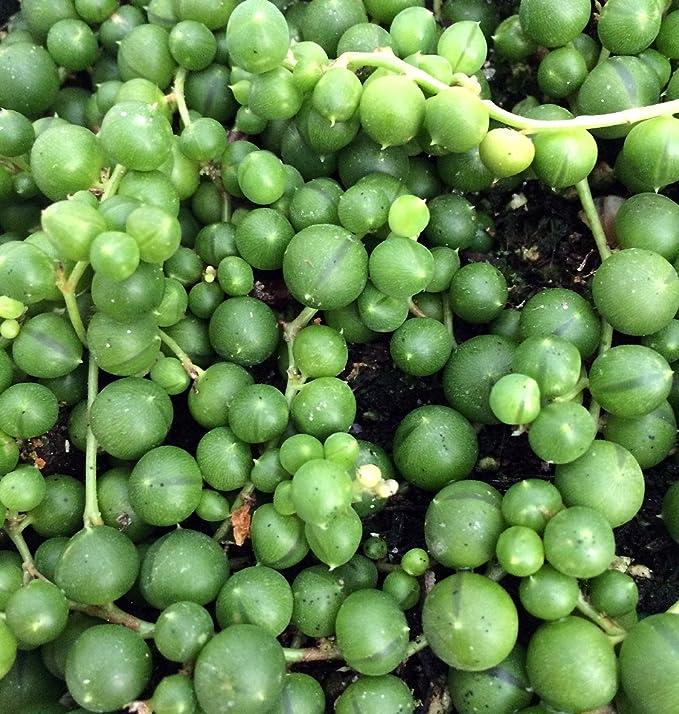 Amazon.com: Planta rosario (Senecio Rowleyanus) fácil ...