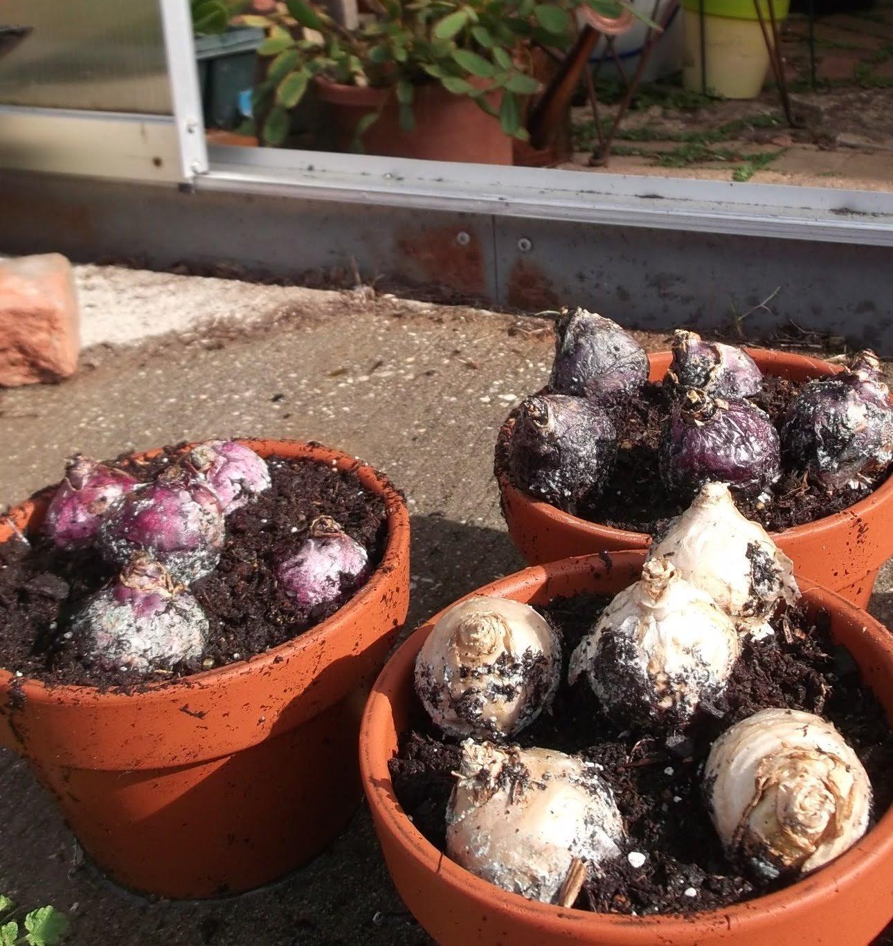 Mixed Color Hyacinth Bulbs - 12 Bulbs - Fragrant Hyacinths by Willard & May