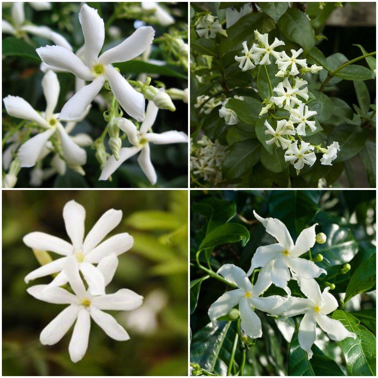2 Confederate Jasmine Star Fragrant Jasmine vine !! Live Rooted Plant 8'' to 12''