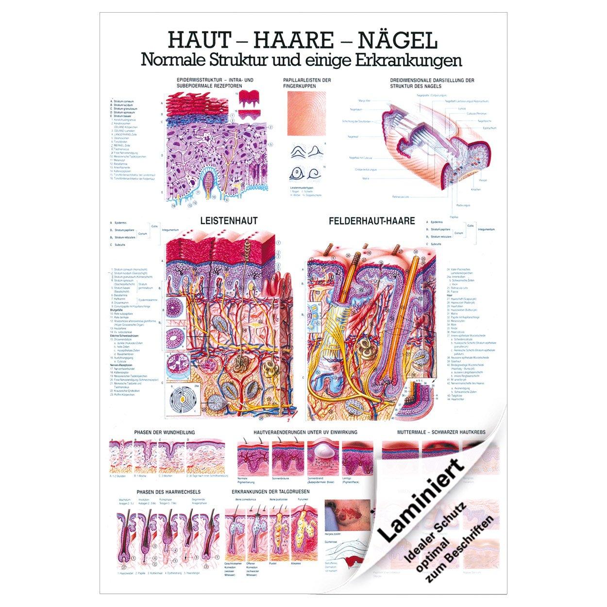 Haut-Haare-Nägel Lehrtafel Anatomie 100x70 cm medizinische ...