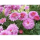 Petty-coat Pink Chrysanthemum Seeds