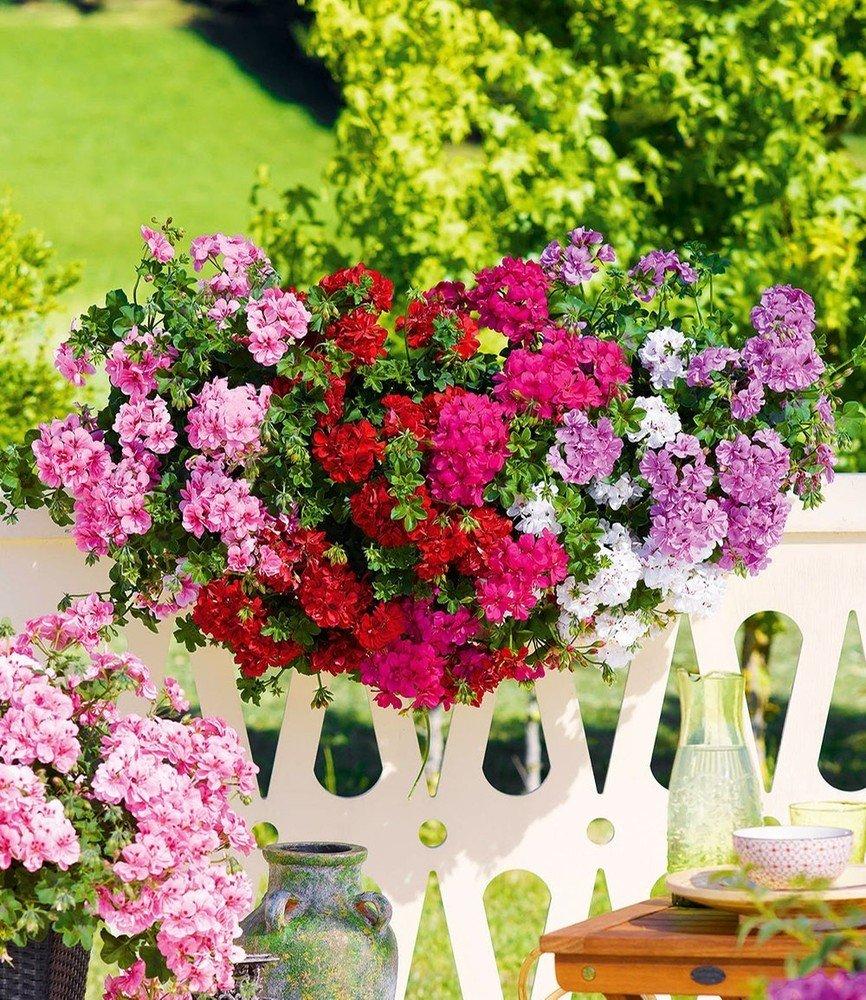 6 Pflanzen Pelargonien Blumen Pflanzen Baldur Garten Hängende