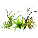 5 Pack Air Plant Tillandsias by Bliss