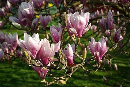 Amazoncom Magnolia Soulangeana Saucer Magnolia Unique Tree