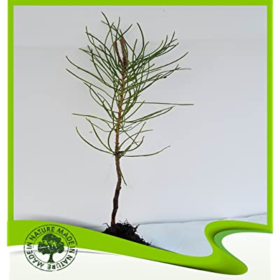 Pinus pinaster (Maritime pine) - Plant : Garden & Outdoor