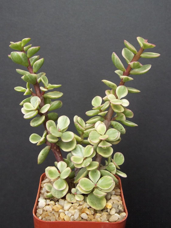 "portucalaria affra Variegated Rare Elephant Bush Mini Jade Tree Bonsai 2"" Plant"
