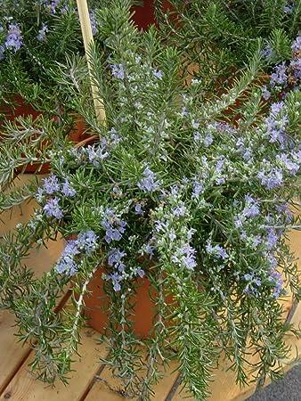 Dominik Blumen Und Pflanzen Rosmarin Hängend 17cm Topf 1 Pflanze