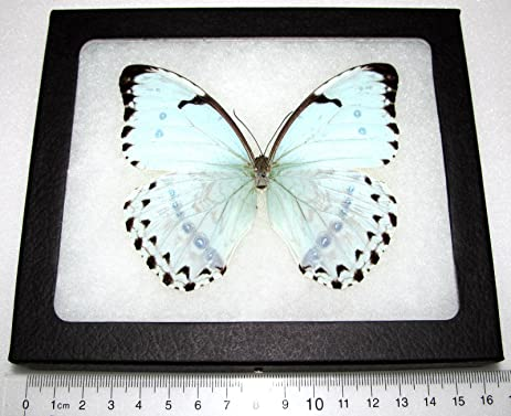 Amazon.com - REAL FRAMED BUTTERFLY ICE BLUE MORPHO CATENARIUS -