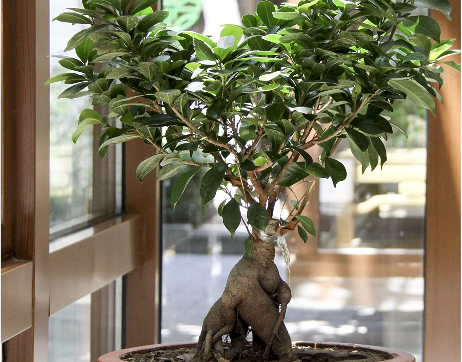 Amazon Com Fig Tree Tree 20 Seeds Tropical Plant Bonsai Or Standard Rugged Bark Cluster Fig From Tropical India Ficus Racemosa Garden Outdoor