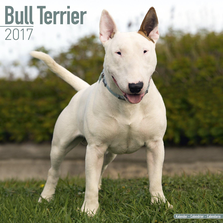 bull terrier calendar 2017 english bull terrier dog breed