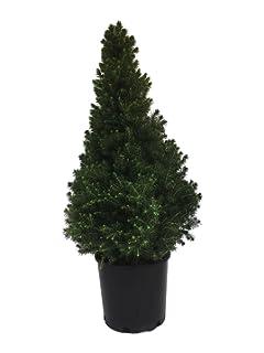 Amazoncom Picea Glauca Conica Dwarf Alberta Spruce