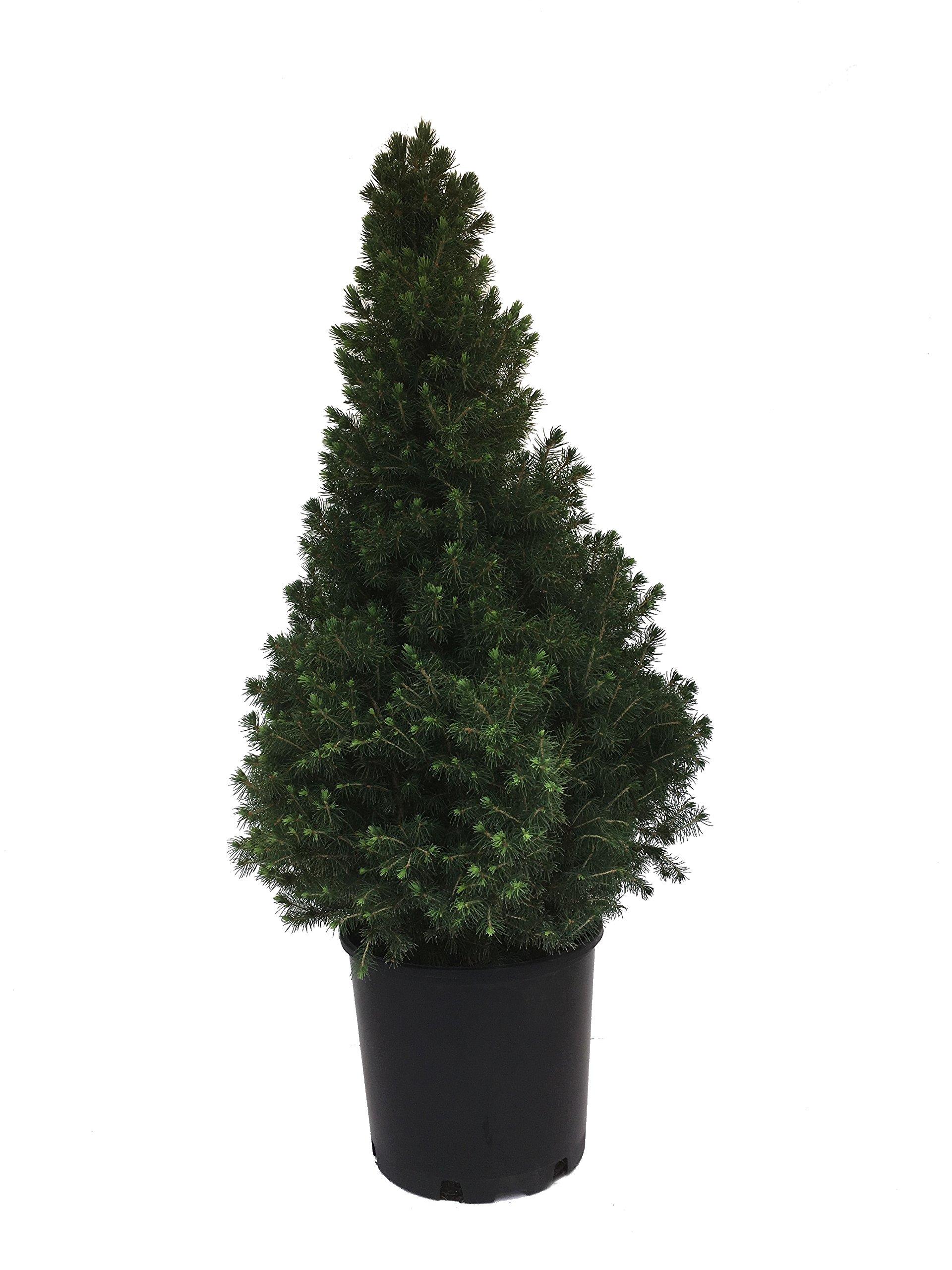 Dwarf Alberta Spruce - Picea Glauca Conica - 3 Gallon