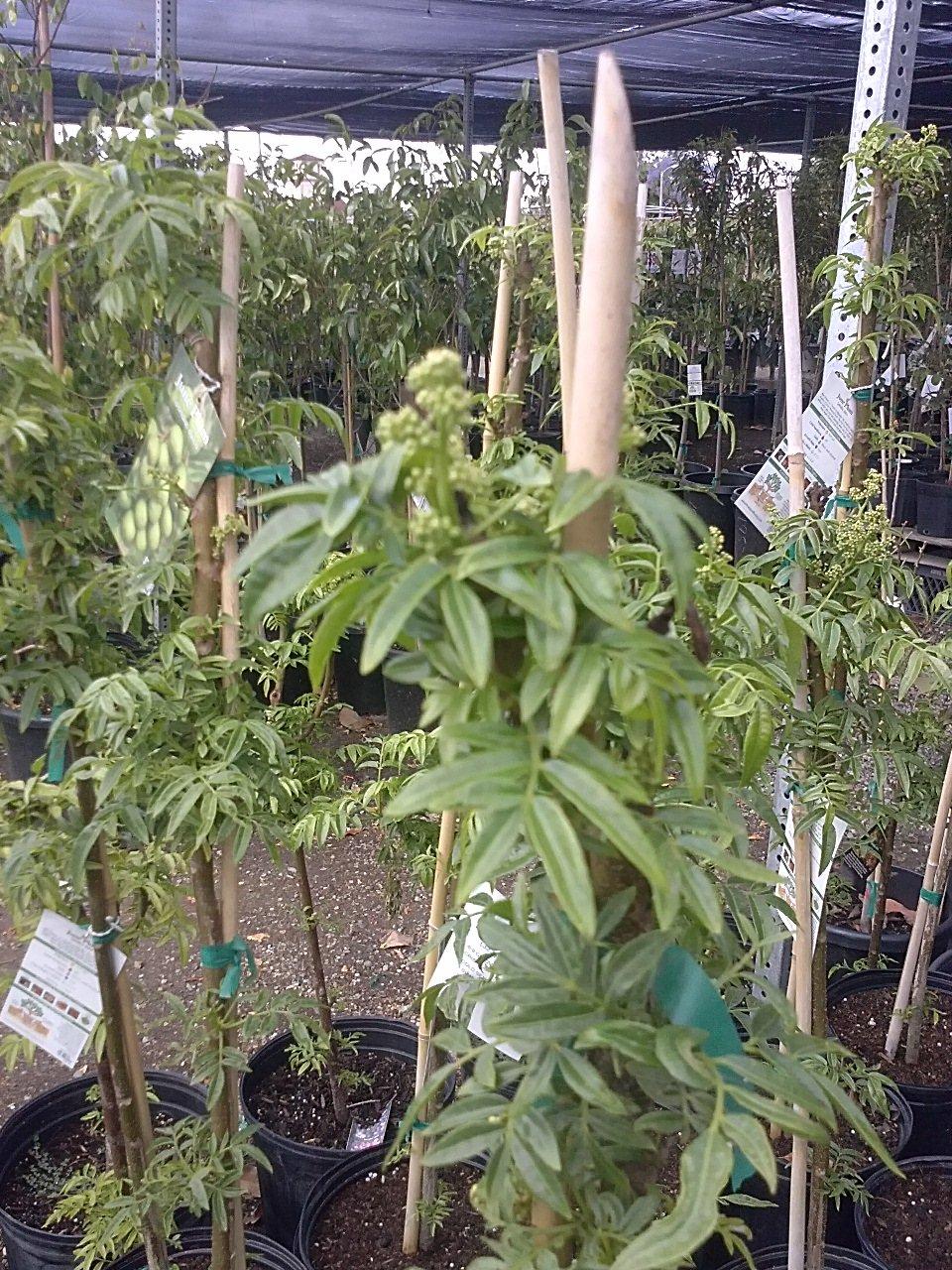 9EzTropical - June Plum Tropial Fruit Trees - 3 Feet Tall - Ship in 3 Gal Pot