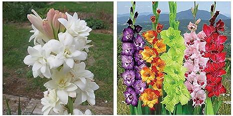 Kraft Seeds Rajnighandha Or Tuberose Flower Bulbs White Pack Of 8 Bulbs Gate Garden Gladiolus Mix Flower Bulbs Multicolour Pack Of 5 Combo Amazon In Garden Outdoors