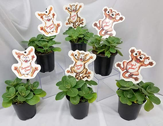 Plectranthus caninus Scardey Cat Plant LIVE PLANT in 2.5 inch pot