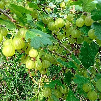 100 Green Gooseberry Seeds : Garden & Outdoor
