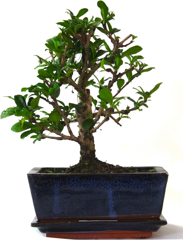 Blue Pot Bonsai Tree Broom Style Fukien Tea Carmona No Care Set Supplied with Ceramic drip Tray Tree Only