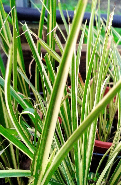ACORUS VARIEGATA SWEET FLAG GRASS MARGINAL POND PLANT IN 9CM POT CORNWALLPLANTS
