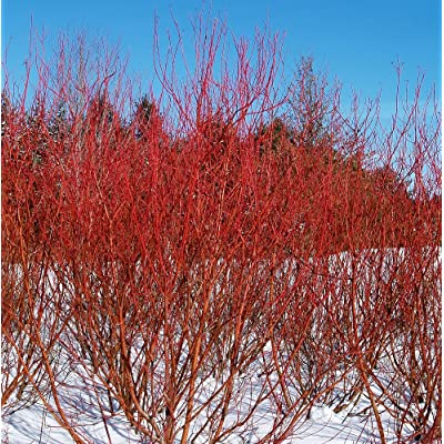 "Baileyi Red Twig Dogwood - 4"" Pot - Cornus stolonifera : Garden & Outdoor"