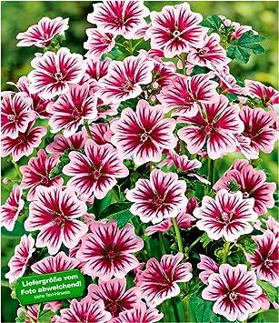 Baldur Garten Stauden Malvezebrina Winterhart 3 Pflanzen