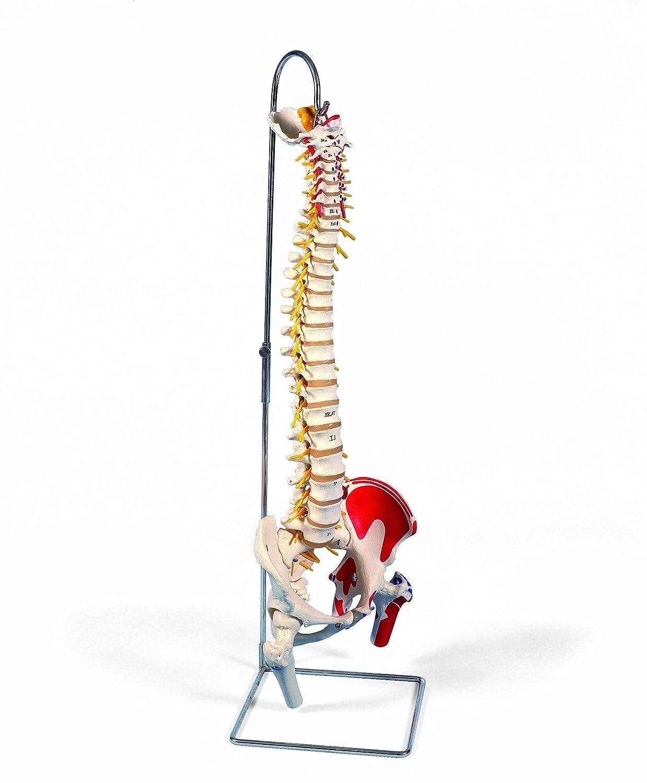 脊柱可動型モデル,延髄,馬尾,大腿骨,筋起始/停止表示付 延髄,馬尾,大腿骨,筋の着色有り  B007NCU9A4