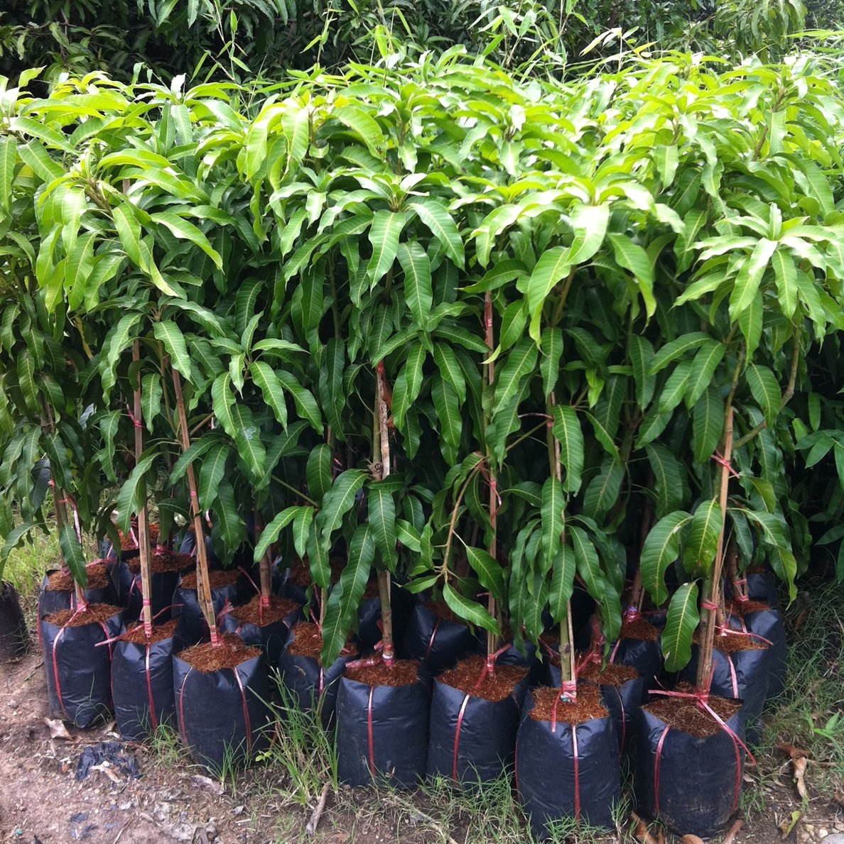 1 GRAFTED Mango Tree plant Nam-Dok-Mai Si Thong 18'' Tall Thai Golden Mango Fruit Juicy Direct from Thailand Free Phytosanitary Cert. by Nature8 Farm (Image #3)
