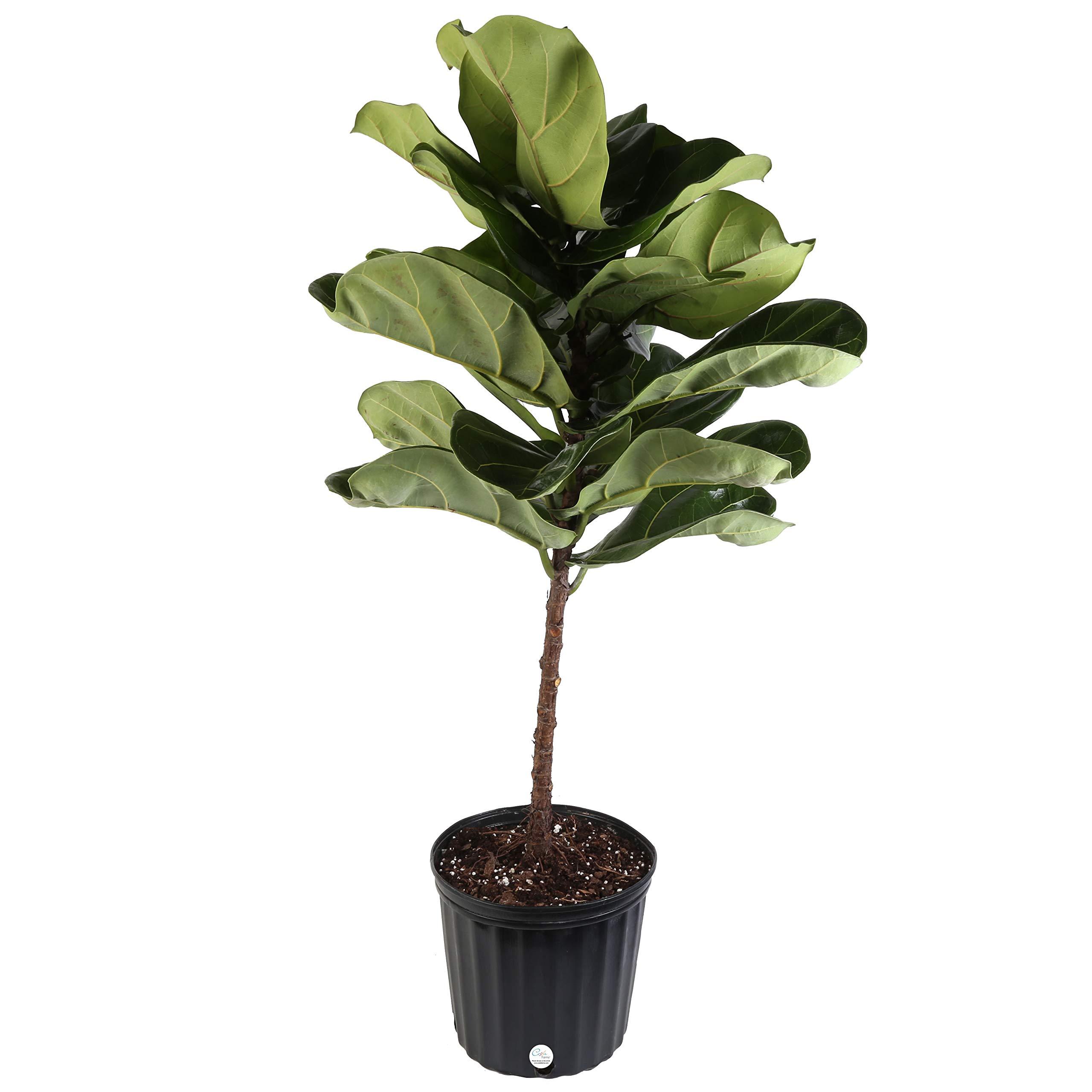 Costa Farms Live Ficus Lyrata, Fiddle-Leaf Fig, Indoor Tree - Floor Plant, 4-Feet Tall, Ships Fresh From Our Farm