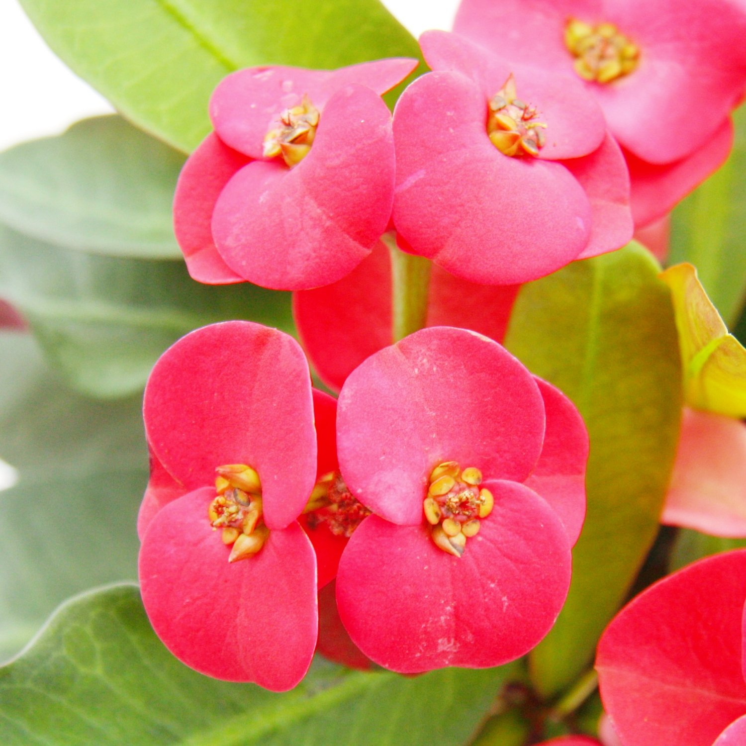 Crown Of Thorns Euphorbia Milii 12cm Pot Red Pink Flowers
