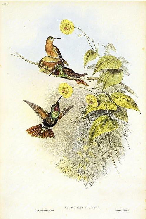 "1990 Vintage HUMMINGBIRD #249 /""BRAZILIAN RUBY/"" GORGEOUS GOULD Art Lithograph"