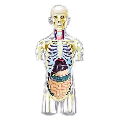 4D Master Transparent Human Anatomy Torso Model Kit, One Color: Toys & Games