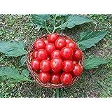 Mexikanische Honigtomate 10 Samen -Zuckersüß- ***Momentan teuersten Tomaten-Sorten***