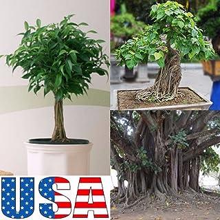 PLAT FIRM Germinazione dei semi: 40 semi: (Bonsai) Sacred Buddha Fig Tree 10, 20, 30, 40 semi (HEIRLOOM NON OGM)