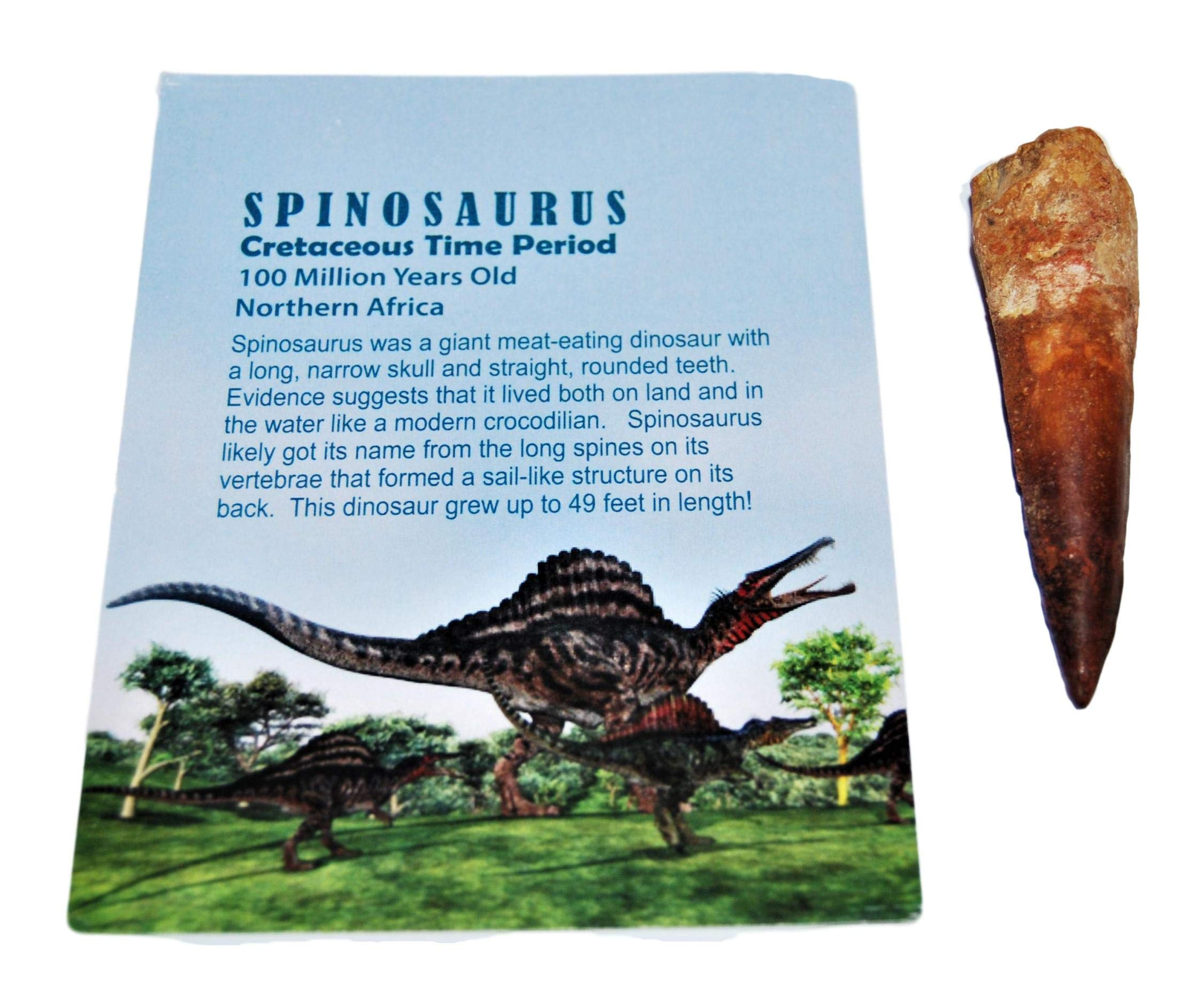 Spinosaurus Dinosaur Tooth Fossil 2 inch to 3 inch Size #14058 4o