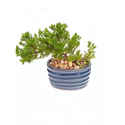 Japanese Juniper Bonsai Starter Tree - 4'' Blue Vase - Juniper Unique From Jmbamboo : Everything Else