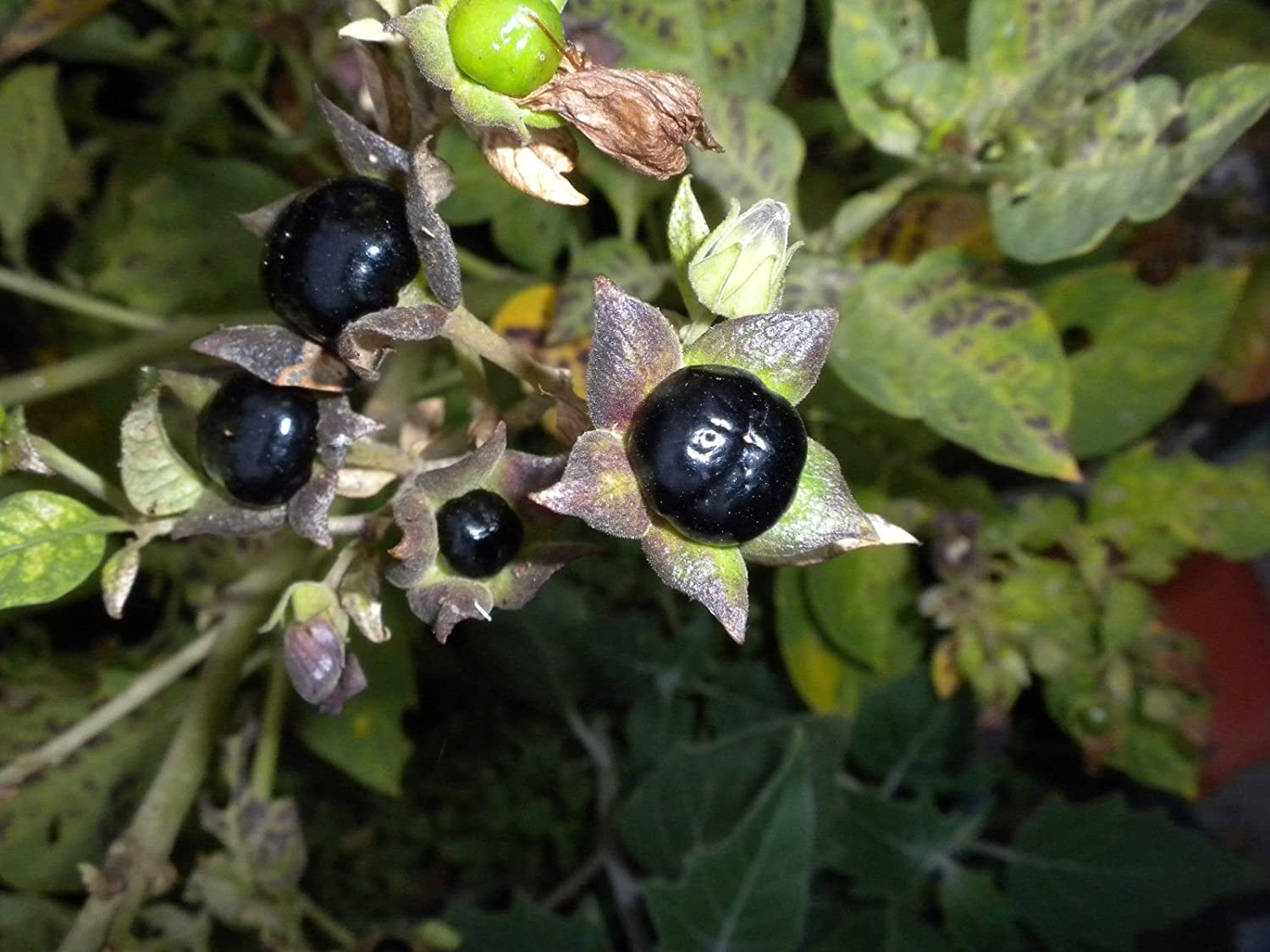 Amazon Com 25 Atropa Belladonna Seeds Wicca Herb Deadly